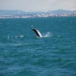 3 Breaching Minke Whale